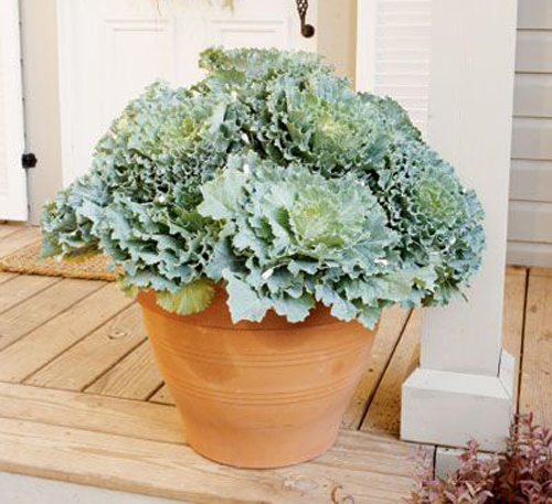 3930-Potted-Kale