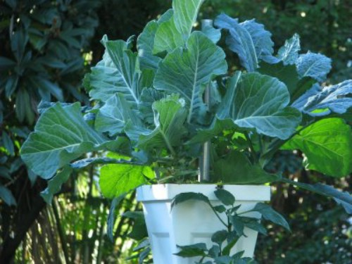 3931 Potted Collards