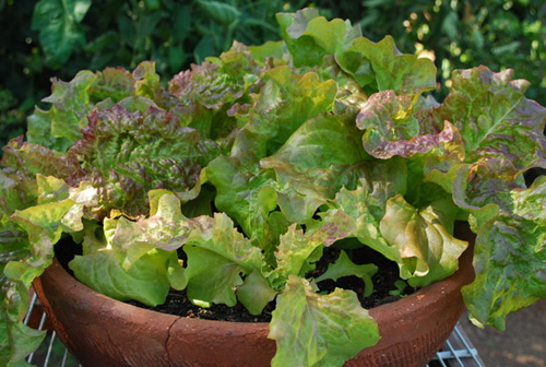 3932-Potted-Swiss-Chard