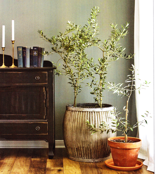 4028-Olive-Tree-Potted