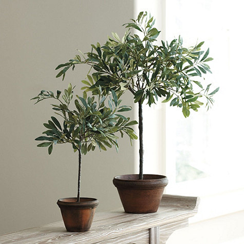 4029-Potted-Olive-Trees