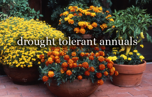 462-Drought-Tolerant-Annuals