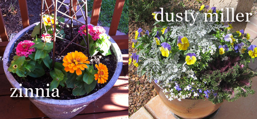 463-Drought-Annuals-In-Pots