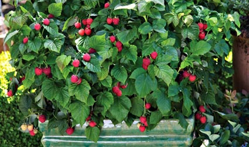 479-Berries-In-Pots