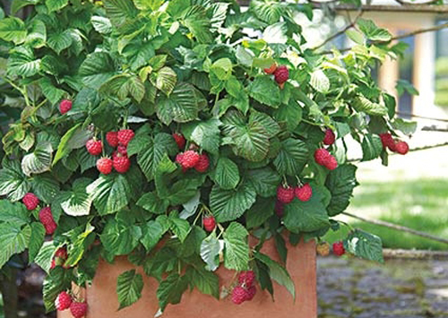 481-Berries-In-Pots