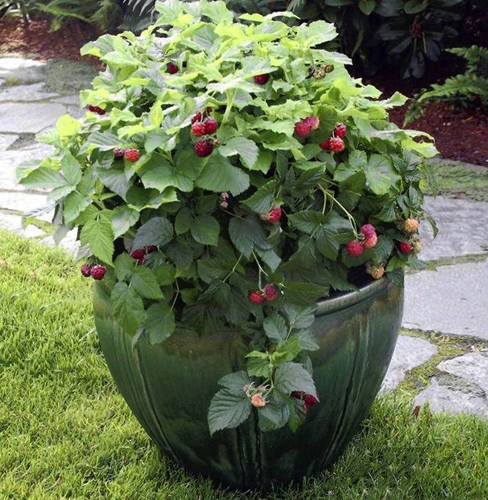 482-Berries-In-Pots