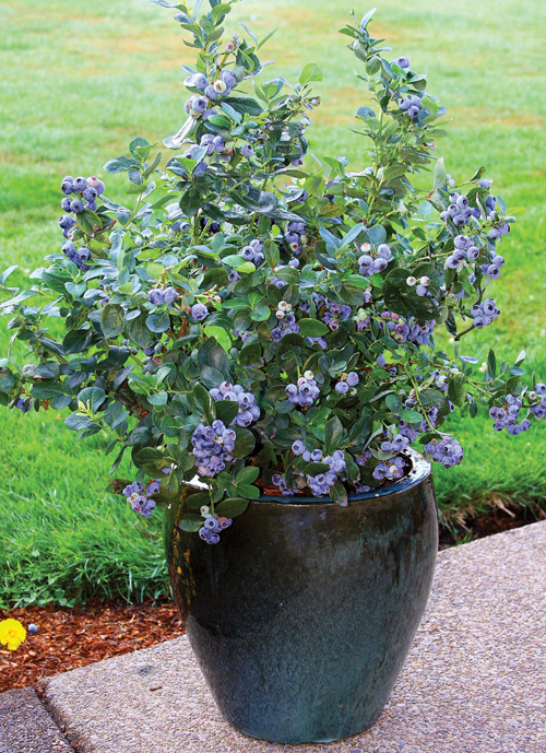 653-Potted-Blueberries