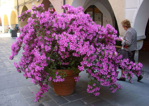 7268-Potted-Azaleas-In-G