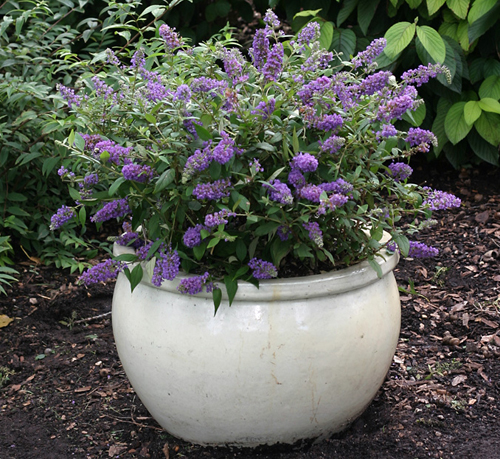 7269-Potted-Shrubs