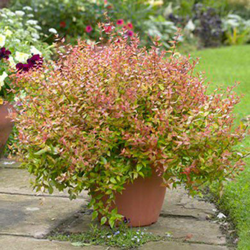 7270-Potted-Shrubs-For-H