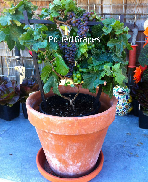 7365-Potted-Grapes