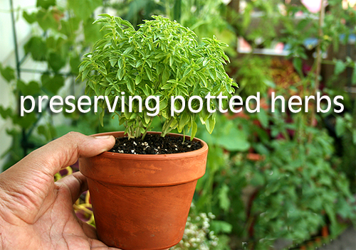 796-Preserving-Potted-Herbs