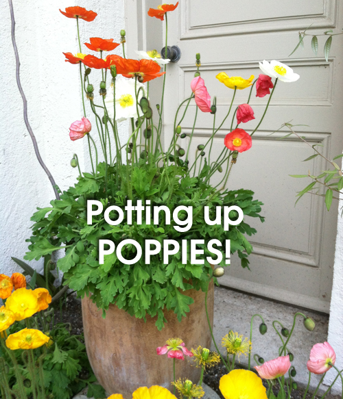 803-Poppies-Potted