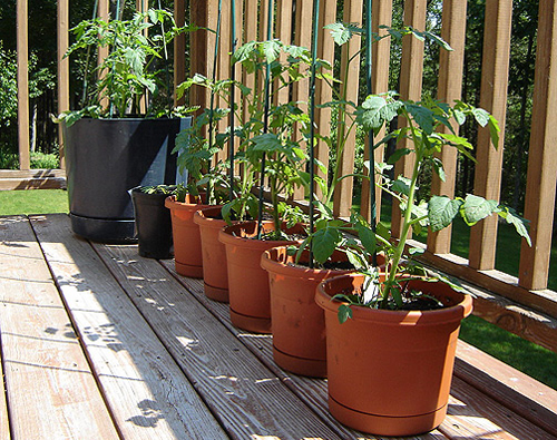 807-Tomatoes-In-Pots