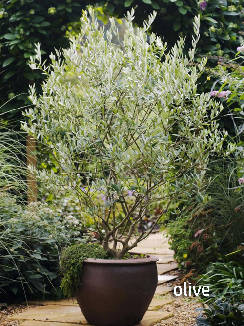 8403-Potted-Olive-Tree