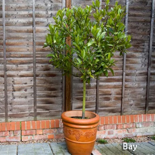8405-Potted-Bay-Tree