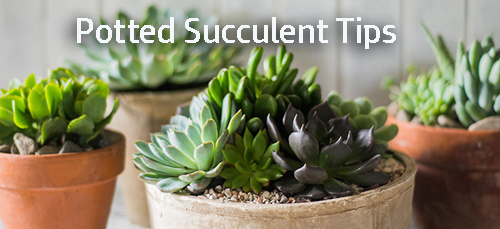 8407-Potted-Succulents-I