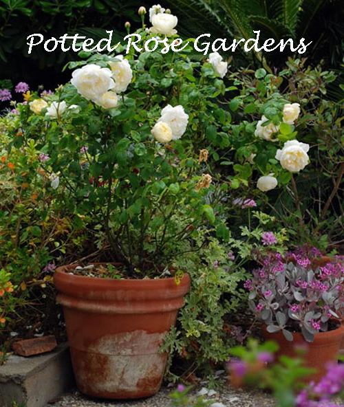 8416-Potted-Rose-Gardens