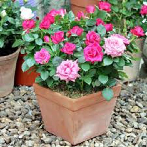 8419-Patio-Roses-Potted