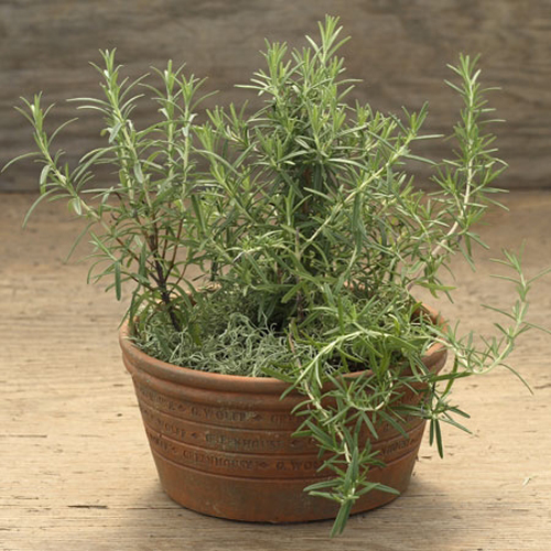 8428-Potted-Rosemary