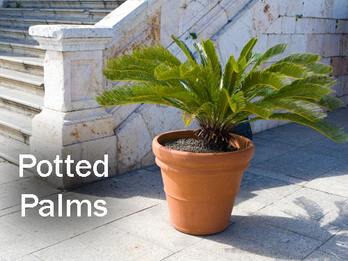 8430-Potted-Palms