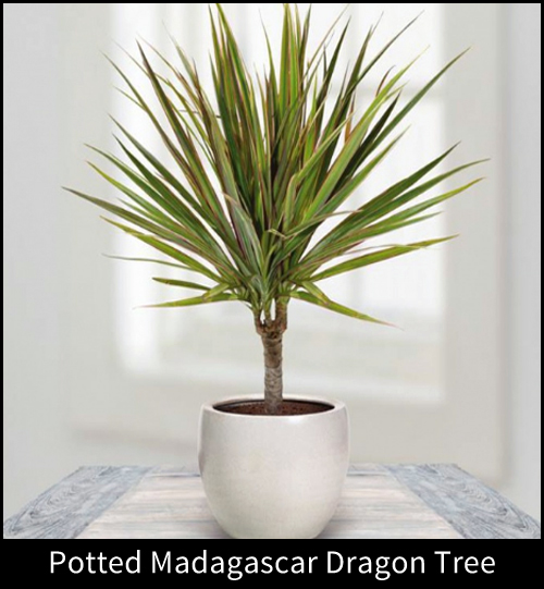 8453-Potted-Madagascar-D