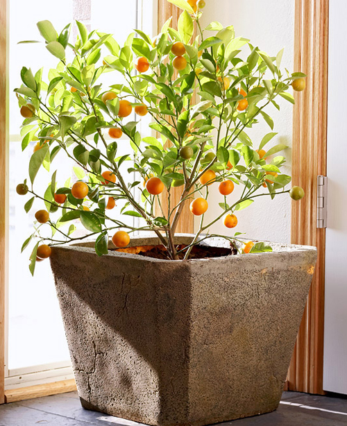 8480-Potted-Citrus-Trees