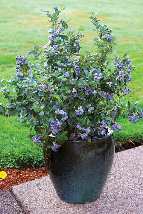 8481-Potted-Blueberries