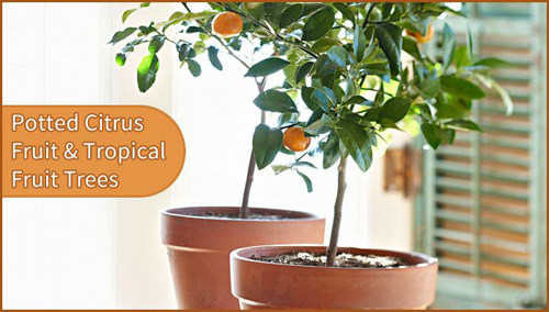 8482-Potted-Fruit-Indoor