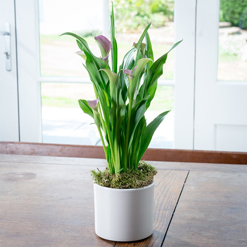 8517-Calla-Lily-Potted-I