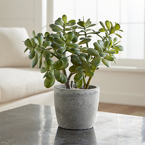 8519-Indoor-Jade-Plant