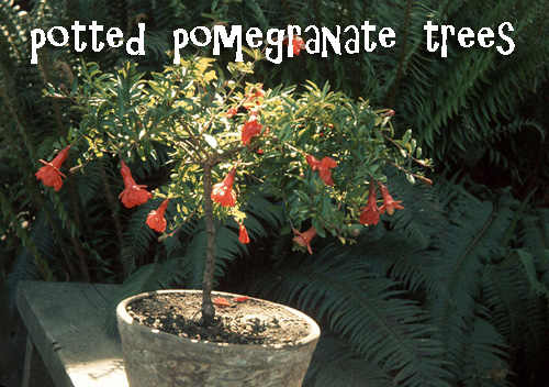 8544-Potted-Pomegranate-