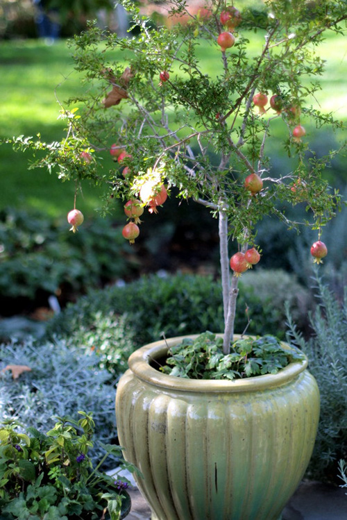 8547-Potted-Pomegranate-