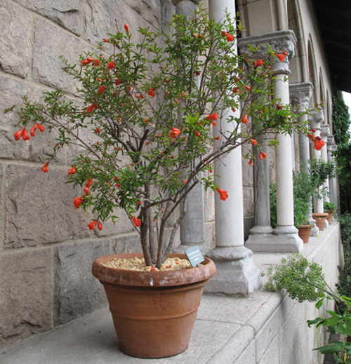 8548-Potted-Pomegranate-