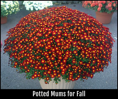 8591-Potted-Mums