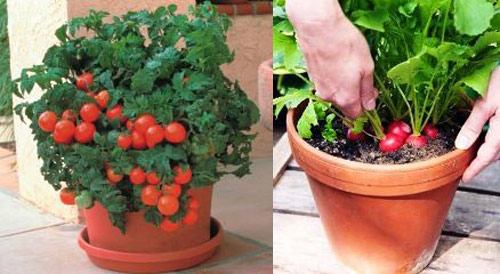 8596-Vegetables-In-Pots-