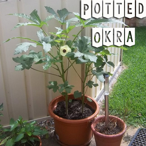 8652-Potted-Okra