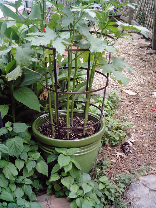8654-Potted-Okra