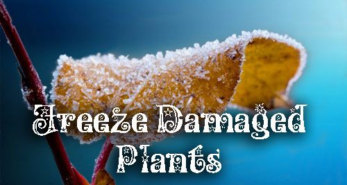 8656-Freeze-Damaged-Pott