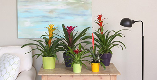 8722-Potted-Bromeliad