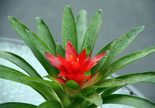 8726-Bromeliad-Potted