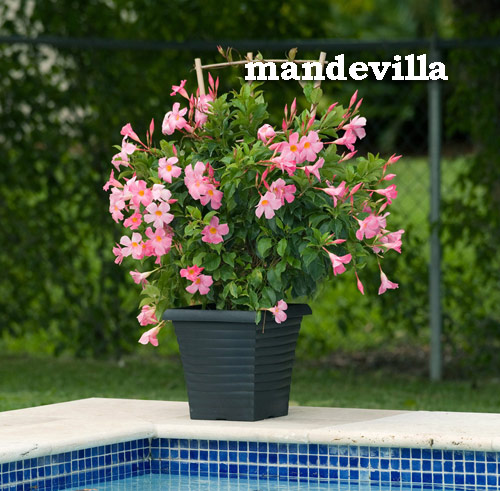 8748-Mandevilla-Potted-F