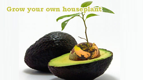 8752-Avocado-Houseplant
