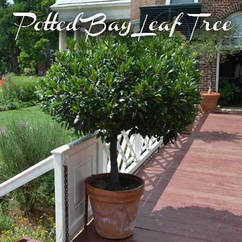 8760-Potted-Bay-Leaf-Tre