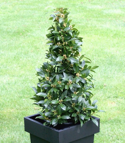 8762-Potted-Bay-Leaf