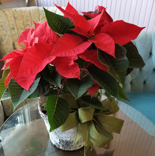8768-Potted-Poinsettias