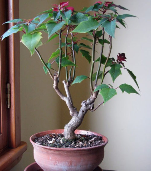 8771-Potted-Poinsettia