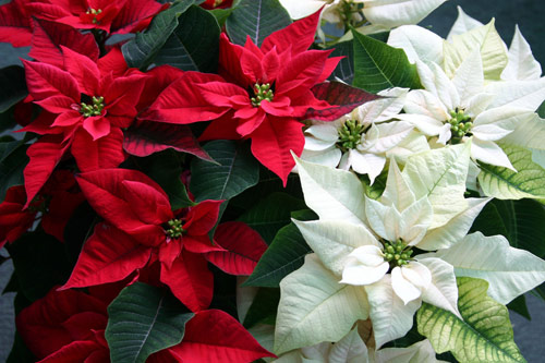 8772-Potted-Poinsettia-R