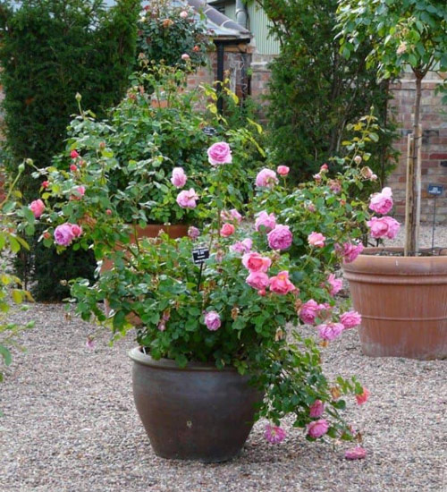 8784-Potted-Roses
