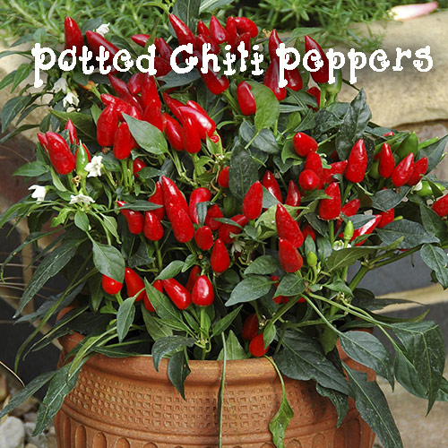 8802-Chili-Peppers-In-Po